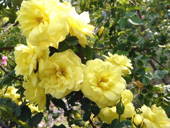 Harrison's Yellow.jpg