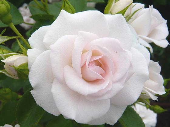 aspirin rose.jpg