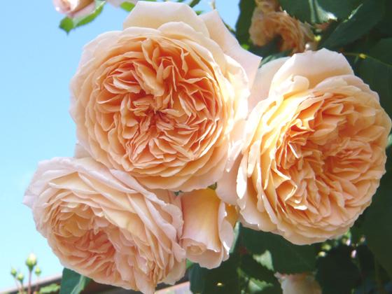 crocus rose.jpg