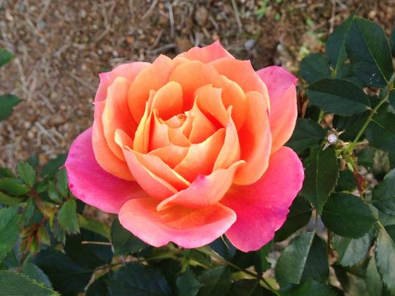 disneyland rose.jpg