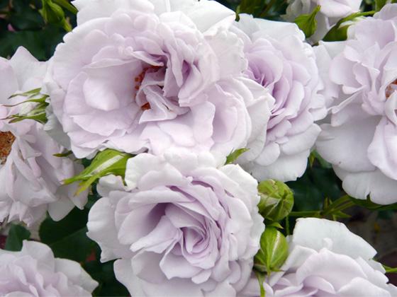 lavender lace.jpg