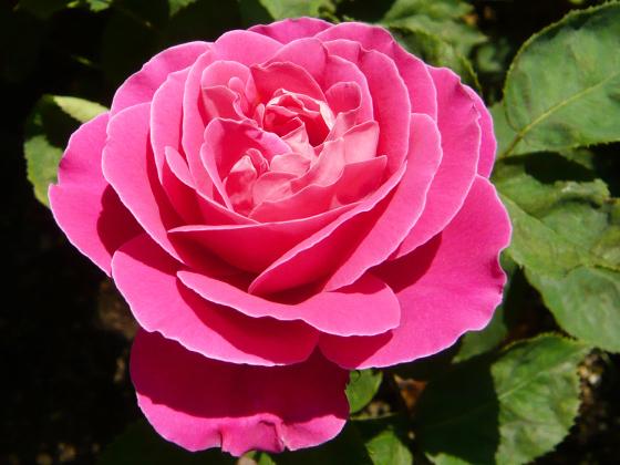 pink-peace.jpg