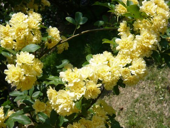 rosa banksiae Lutea.jpg