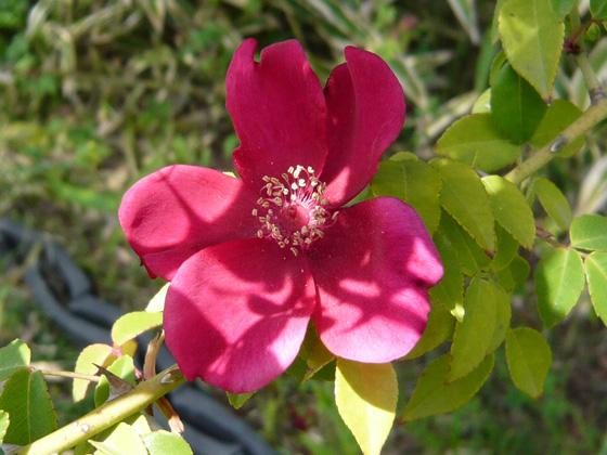 rosa chinensis mutabillis.jpg