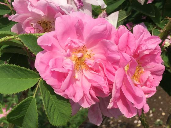 rosa damascena var trigintipetala.jpg