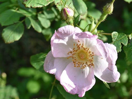 rosa-davidii.jpg