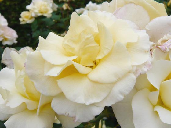 yellow queen elizabeth.jpg