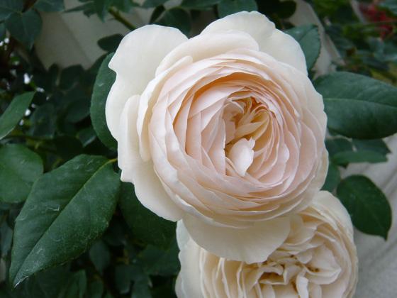 rose marie.jpg