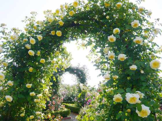 hanasaki farm english rose garden.jpg