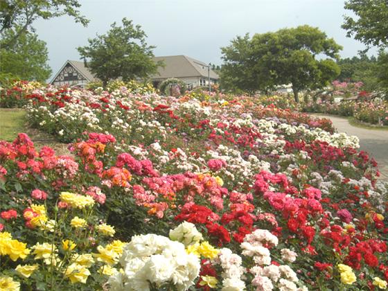 kanoya rose garden.jpg